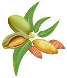 Amandelen. Tak met bladeren en vruchten. Royalty-vrije Stock Afbeeldingen