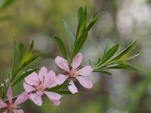Amandes d'arbuste fleurissant avec les fleurs roses photographie stock libre de droits