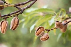 Amandes mûres sur les branches d'arbre image libre de droits