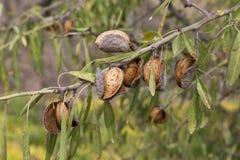 Amandes sur la branche d'arbre photographie stock libre de droits