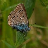 Amandus de Polyommatus da borboleta Imagem de Stock Royalty Free