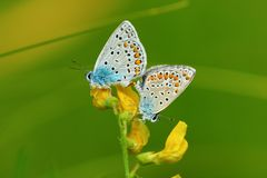 Amandus Polyommatus бабочки Стоковое фото RF