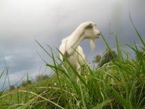Amanecer de la cabra en la hierba imagen de archivo