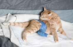 łamanego kota imbirowa noga Zdjęcia Stock