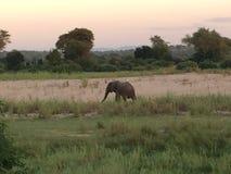 Amanhecer do elefante em Chirundu, Zimbabwe Imagem de Stock