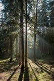 Amanhecer na floresta conífera fotos de stock royalty free