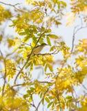 Amani Sunbird femenino Imágenes de archivo libres de regalías