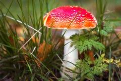 Amaniet in het bos Royalty-vrije Stock Foto's