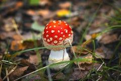 Amaniet in het bos Royalty-vrije Stock Afbeelding