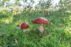 Amaniet Muscaria, Rode Paddestoel in het bos stock foto's