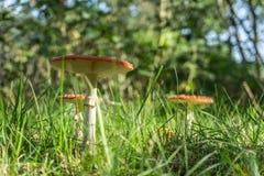 Amaniet Muscaria, Rode Paddestoel in het bos stock afbeelding