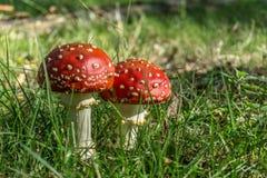 Amaniet Muscaria, Rode Paddestoel in het bos royalty-vrije stock fotografie