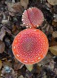 Amanietmuscaria, een giftige paddestoel Stock Afbeelding