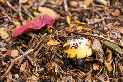 Amanita άνοιξη (Amanita velosa) Στοκ εικόνα με δικαίωμα ελεύθερης χρήσης