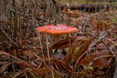 Amanita ή μύγα-αγαρικών μανιτάρι στο δάσος φθινοπώρου Στοκ Εικόνες
