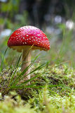 amanita αγαρικών muscaria μυγών Στοκ φωτογραφία με δικαίωμα ελεύθερης χρήσης