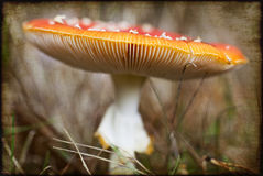 amanita αγαρικών muscaria μυγών Στοκ Εικόνα