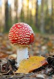 amanita αγαρικών toadstool muscaria μυγών Στοκ Φωτογραφία