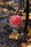 Amanita, μανιτάρι μύγα-αγαρικών Στοκ εικόνες με δικαίωμα ελεύθερης χρήσης