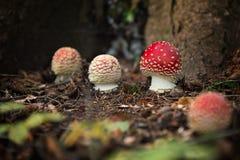Amanita μη φαγώσιμος μύκητας muscaria στοκ φωτογραφίες με δικαίωμα ελεύθερης χρήσης