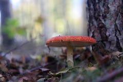 Amanita στο δάσος στοκ εικόνα