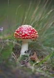 amanita όμορφο muscaria Στοκ Φωτογραφίες