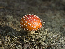 Amanita. Mushroom growing in the moss Stock Image