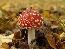 Amanita. On the edge of the forest after the rain has grown mushroom Royalty Free Stock Photo