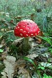 Amanita in autumn forest. Royalty Free Stock Photography