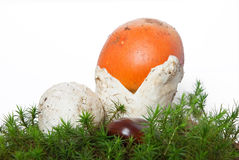 Amanita Caesarea mushrooms Royalty Free Stock Image