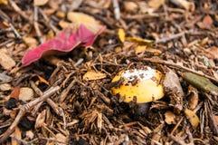 Amanita de la primavera (velosa de la amanita) Imagen de archivo libre de regalías