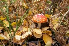 Amanita del otoño Foto de archivo