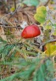 Amanita di mosca tossica rossa luminosa nella foresta fotografia stock libera da diritti