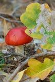 Amanita di mosca tossica rossa luminosa nella foresta fotografie stock libere da diritti