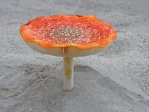 Amanita do cogumelo Imagem bonita Imagem de Stock Royalty Free