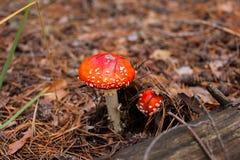Amanita för två champinjon i skogen Royaltyfri Foto