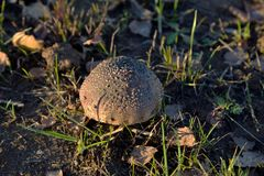 Amanita fat or stocky mushroom Amanita excelsa royalty free stock photography