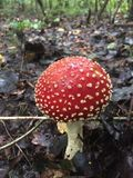 Amanita fly agaric mashroom in the forest Stock Photography