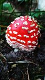 Amanita or fly-agaric, mushroom, fungus. stock photos