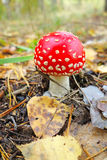Amanita in the forest Royalty Free Stock Images