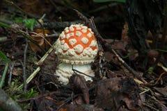 Amanita in foresta Immagini Stock Libere da Diritti