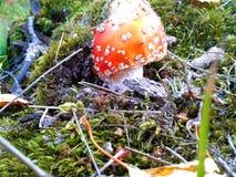 Amanita fresco da floresta Imagens de Stock