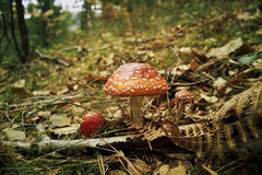 Amanita, fungo tossico nel legno Fotografia Stock