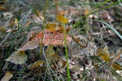 Amanita hid in the grass. Covered with leaves and waiting for him to be found stock images