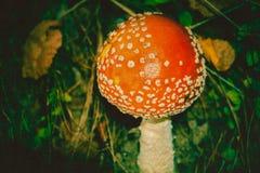 Amanita i Forest Filtered Royaltyfria Foton