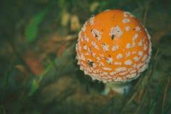Amanita i Forest Filtered Royaltyfria Bilder