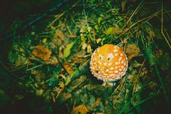 Amanita i Forest Filtered Arkivfoto