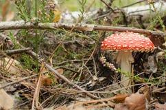 Amanita i skog Fotografering för Bildbyråer