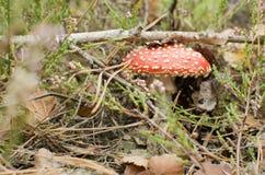 Amanita i skog Royaltyfria Bilder