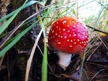 Amanita i skogen royaltyfri fotografi